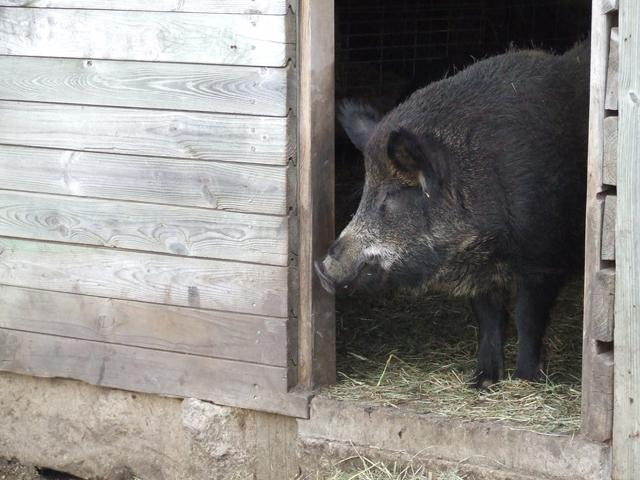 A Mangalitsa pig at a farm in McBain, Michigan.