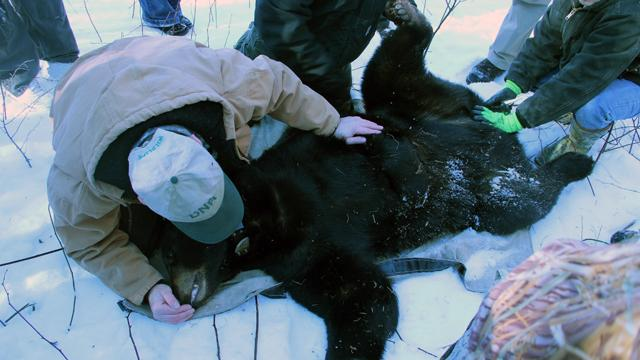 The DNR's Dwayne Etter checks to make sure the bear is breathing well (he was).