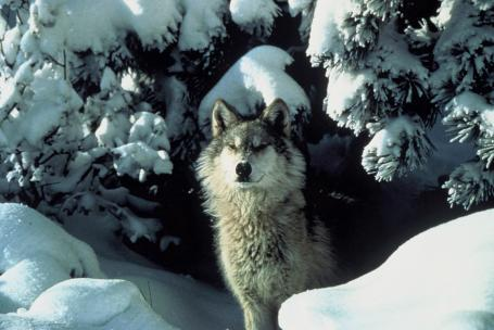 Michigan's gray wolf population is estimated to be around 700 animals. The recovery goal for the population was between 250-300 wolves.