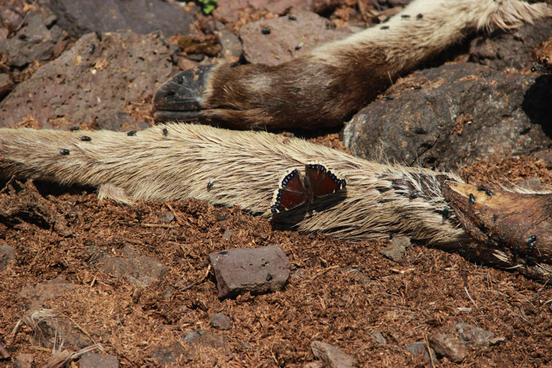 Mourning cloak butterflies get sodium from moose bones.