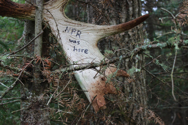 Moose antler in tree