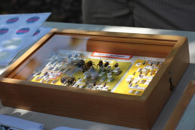 Bee specimens on display.