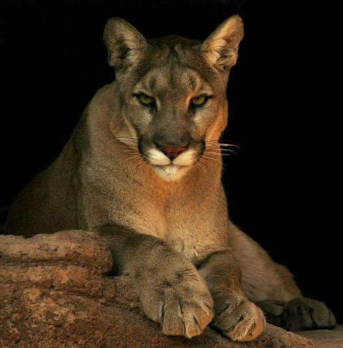 Image result for images of cougars