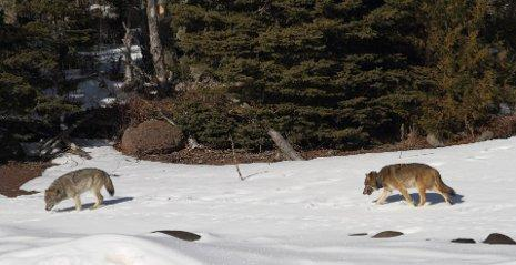 """""""Romeo"""" was eager to mate with other females. He was one of the wolves that died in the mine shaft last fall. He's seen here following a female wolf in 2010."""