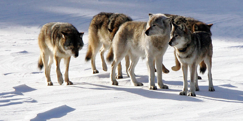 Isle Royale wolves