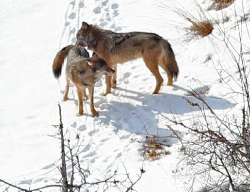 Researchers estimate just two wolves remain on Isle Royale.
