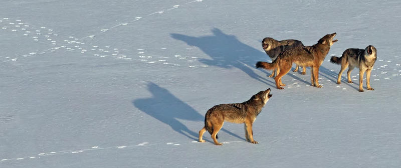 The Chippewa Harbor Pack howling in winter. An unusual time of year for this kind of behavior. The wolves could be looking for new mates.