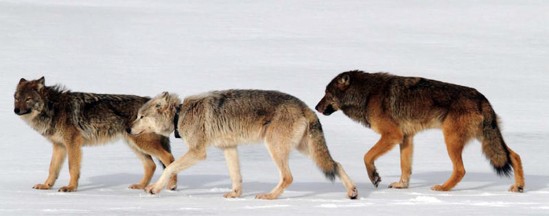 Wolves on Isle Royale.