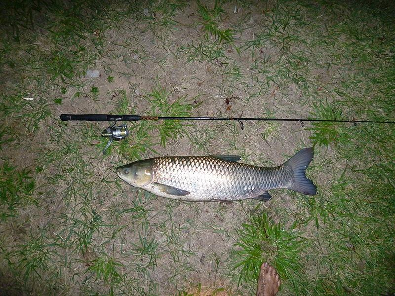 A ball of white bread and 6-pound fishing line did this grass carp in.