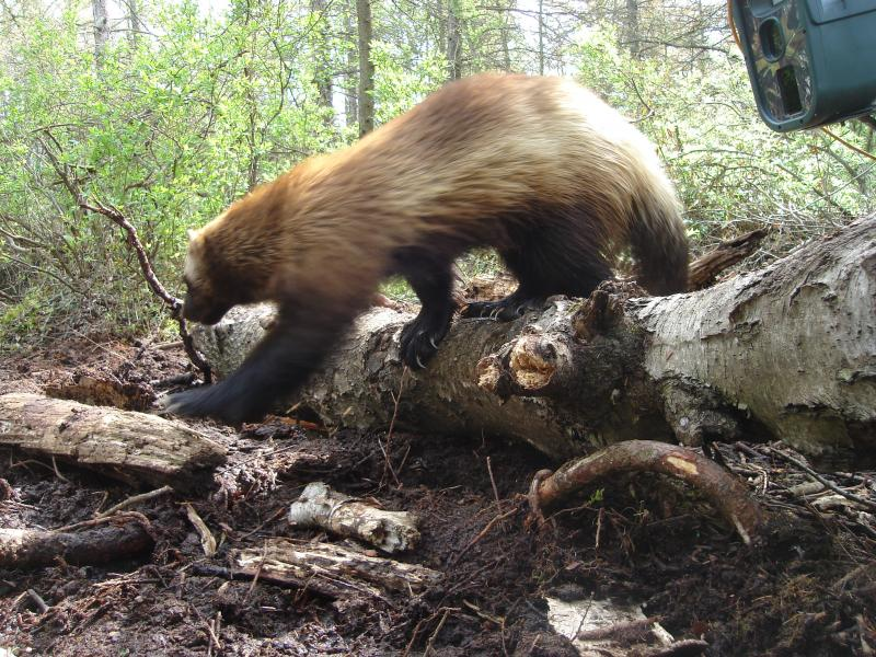 This nine-year-old female wolverine was captured by Jeff Ford's trail cam in Michigan's Thumb region. The animal's body was discovered by hikers in 2010.