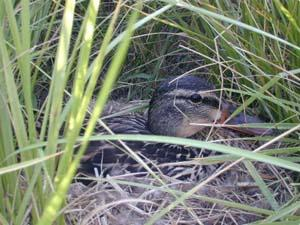 In a narrow swath of grass in a roadside ditch, a mallard hen nests her second brood of the season, a rare event for these ducks. Her first ducklings were killed by a predator.