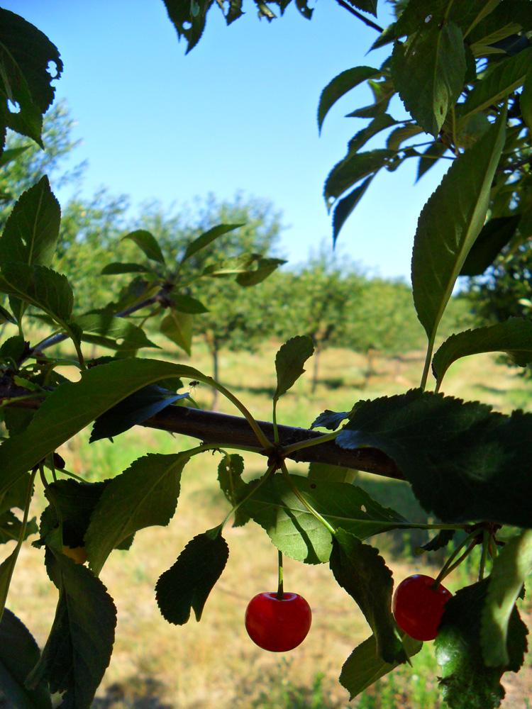 Tart cherries, the main cherry crop in Michigan.