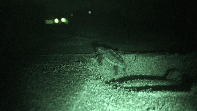 Hatching sea turtles struggle to find the sea. Scientists have found that the turtles are drawn to artificial lights along the coast, instead of moving toward the ocean.