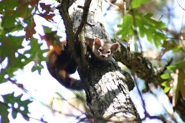 Pine martens are elusive creatures.