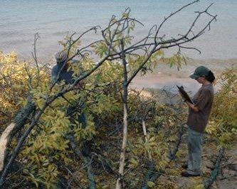 Technicians in Michigan Tech's emerald ash borer survey search for signs of the pest in Brimley State Park. Here, on the shore of Lake Superior, the first borer-infested ash tree was found in Michigan's Upper Peninsula.