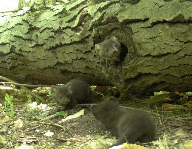 A female marten and kits. (The female is collared). Photos are from a remote field camera