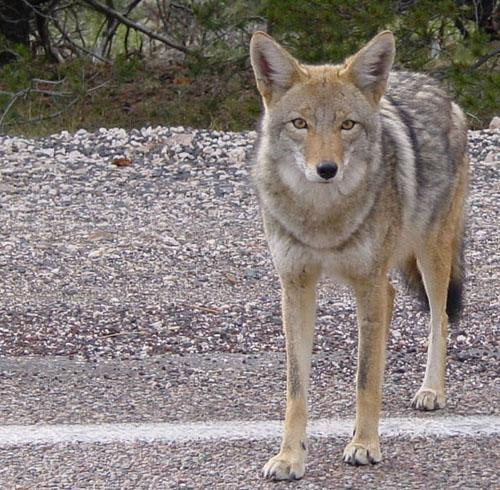 Canis latrans