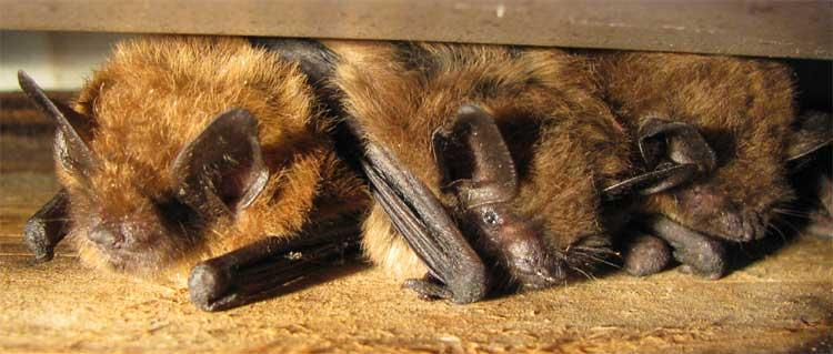 Michigan bats are at risk of being infected by white-nose syndrome.