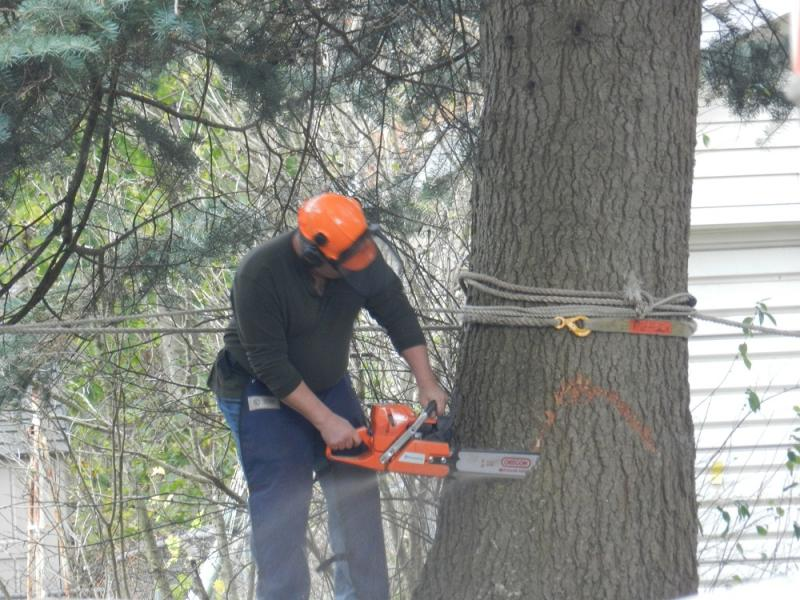 It took a team of timbermen more than an hour to secure and cut down the 75 foot Concolor Fir tree