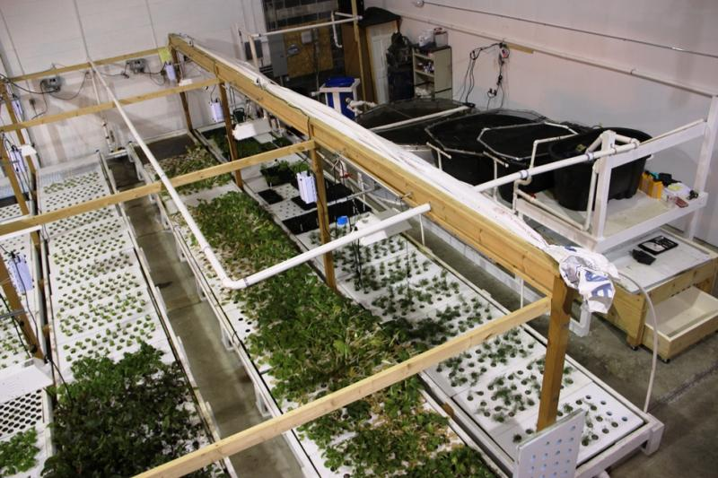 Aqua Growers is a commercial fish farm in Livonia, currently growing Tilapia and culinary greens in an aquaponic system.