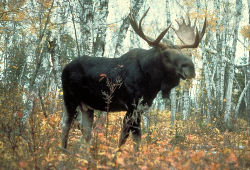 Moose (Bull), Michigan  USDA Forest Service, Superior National Forest