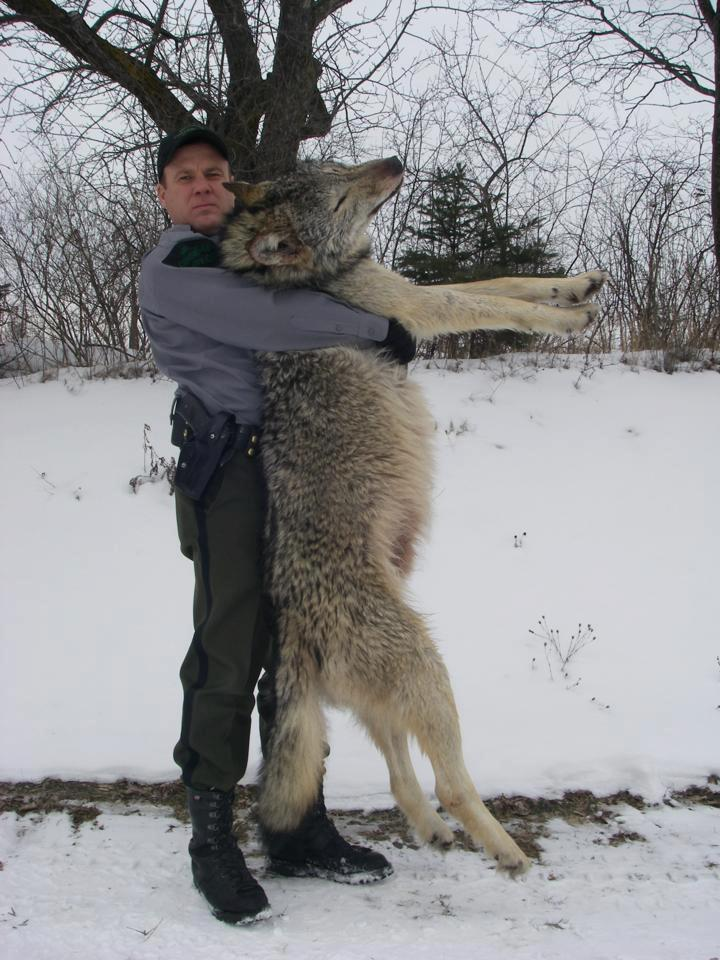 A Michigan DNR conservation officer holding a 100 lb. wolf hit by a car in the Upper Peninsula.