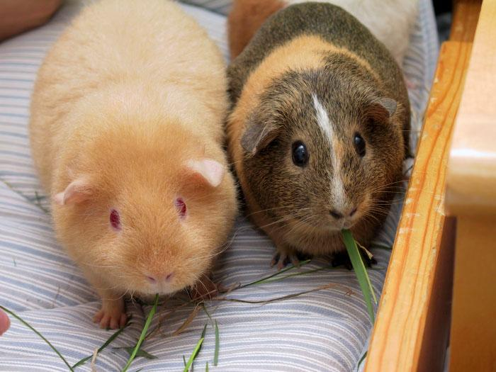 A pair of guinea pigs.