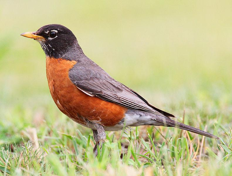 Should we be worried about robins this winter?