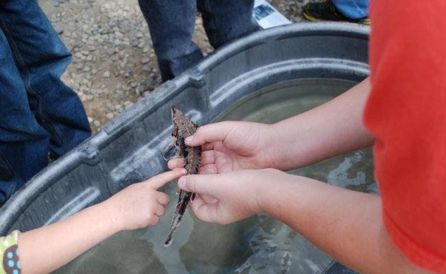 Kids get a chance to see the small sturgeon raised in the facility up close during a release party in 2011.