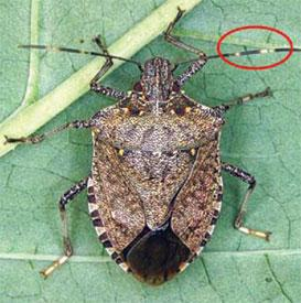 The brown marmorated stink bug is identified by its antennae and legs.