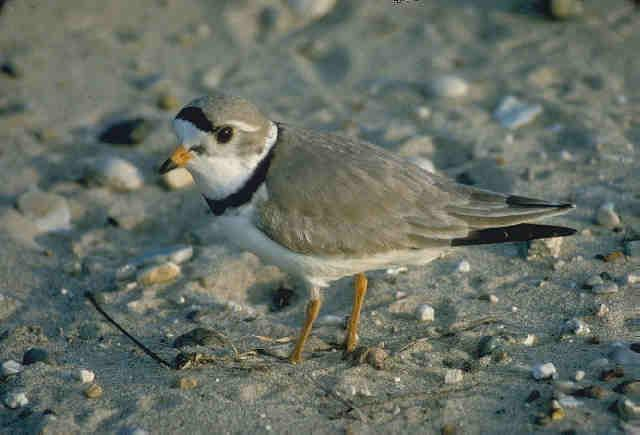 The piping plover is a tiny bird, about the size of a parakeet.