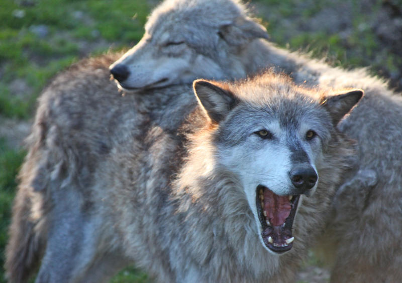 Gray wolves.