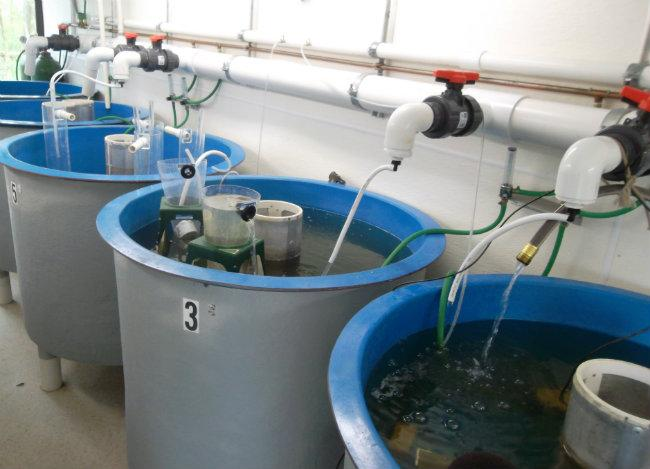 There are ten tanks in the rearing facility to raise sturgeon from eggs to juvenile fish.