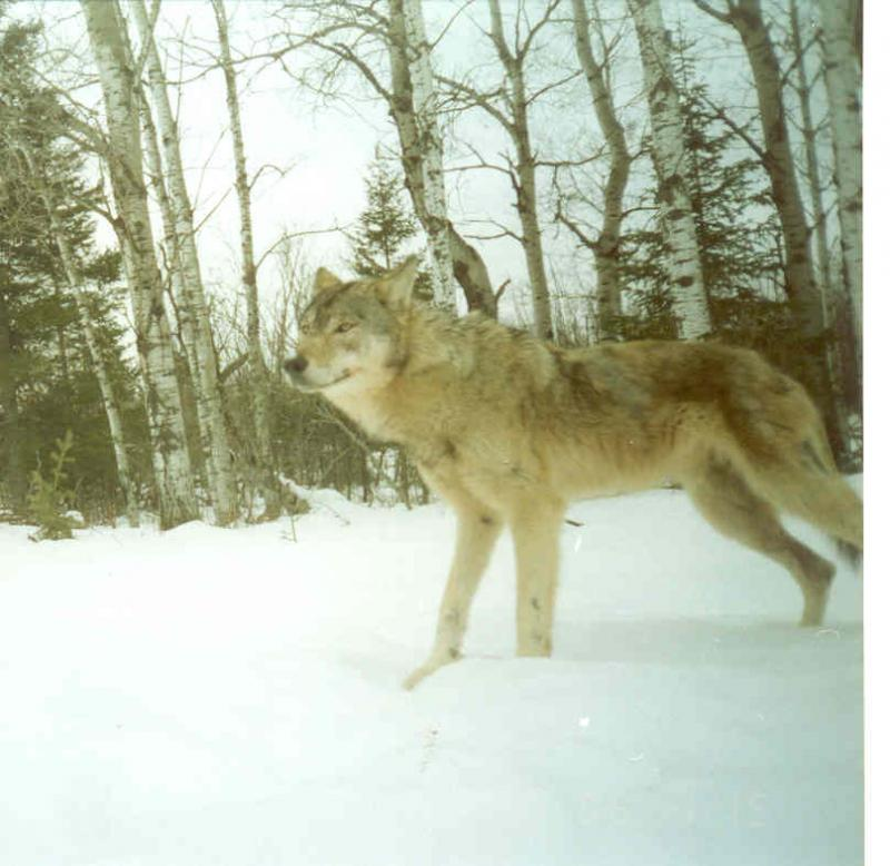 A wolf visiting the Warren's property in Michigan's Upper Peninsula.