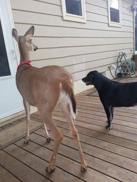 Lilly the deer, with canine companionship.