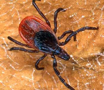 An adult female blacklegged tick or deer tick.