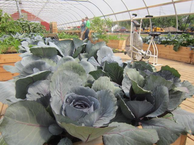 Cabbages are among the many vegetables and fruits growing in the new hoop house.