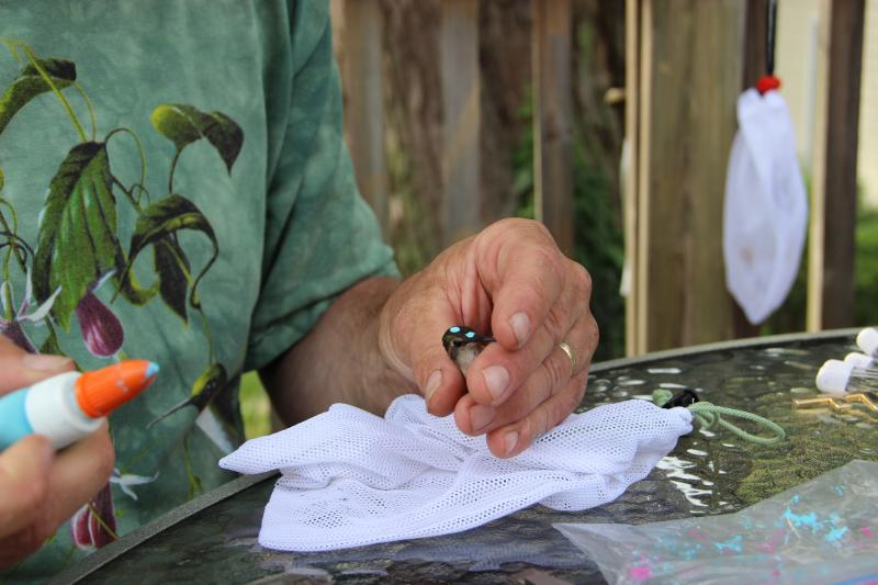 Chartier marks the birds with a temporary, non-toxic paint so they know which birds they've already banded.