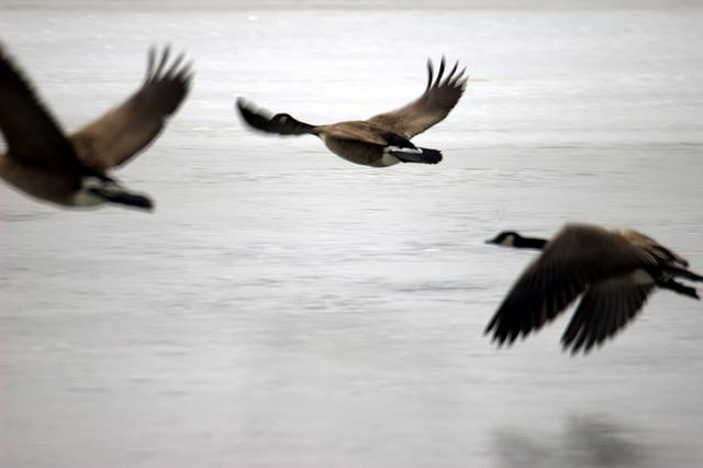 Geese flying in Wisconsin