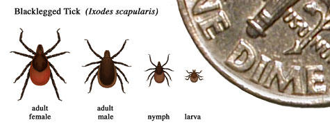 A blacklegged tick identification guide