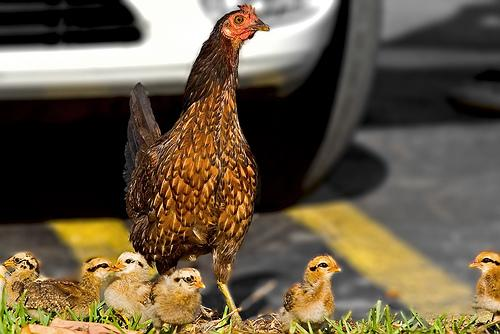 Raising chickens in urban areas is becoming more and more common.