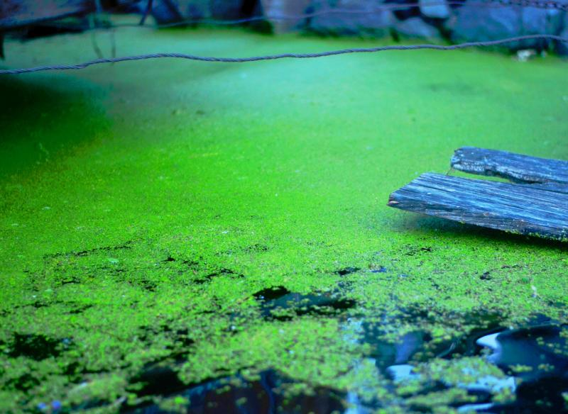 Algae on a lake.