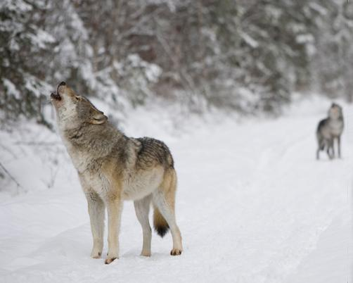 The MDNR is targeting 43 wolves for this year's wolf hunt.