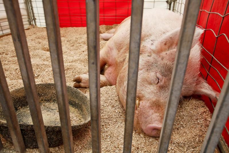 The life of a swine at a county fair