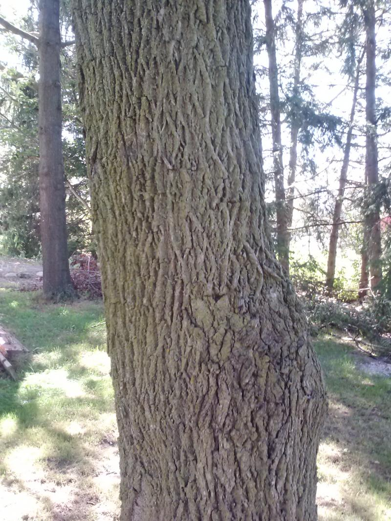 The bark of a black walnut tree. Hybrids of black walnut and Carpathian walnut trees are likely to look like a mix of the two kinds of trees. If you think you might have a hybrid, the Michigan Nut Growers Association would love to hear from you.