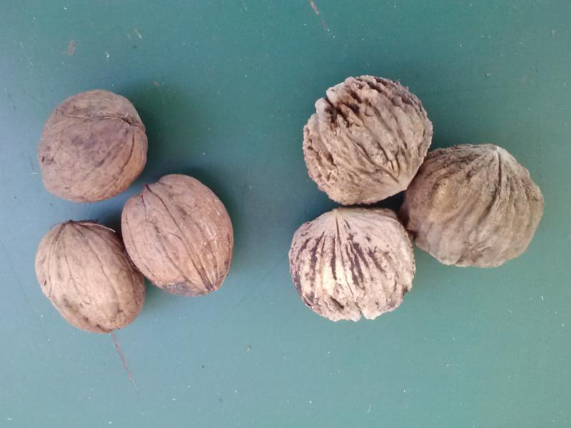 Carpathian walnuts (left) and black walnuts (right).