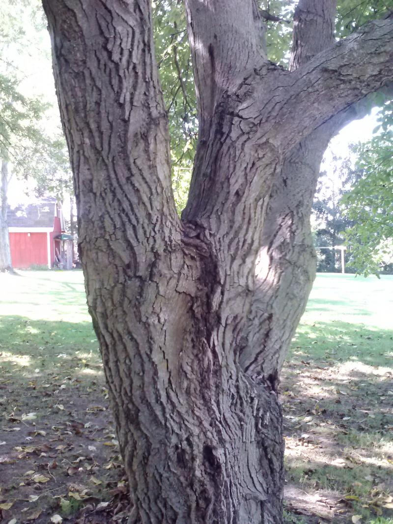 Bark of a Carpathian walnut tree.