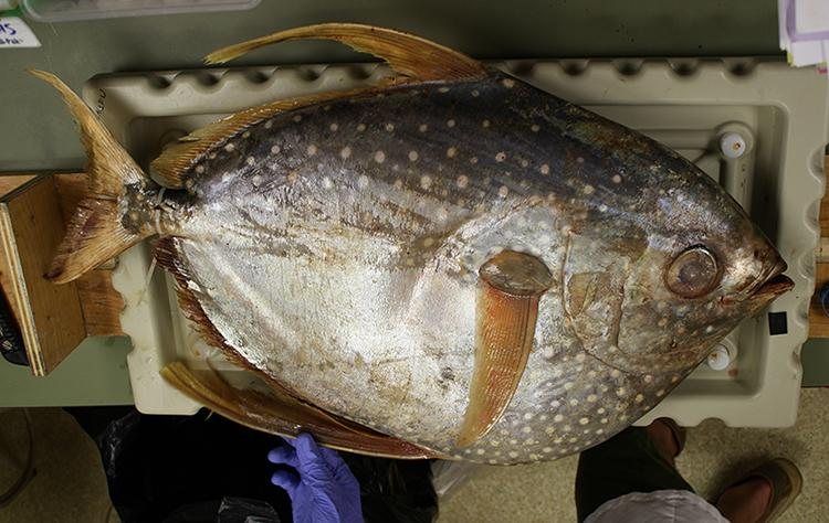 An opah, also called a moonfish. Opah first became popular as sushi and sashimi in the late 1980s and early 1990s and are especially popular in Hawaii.