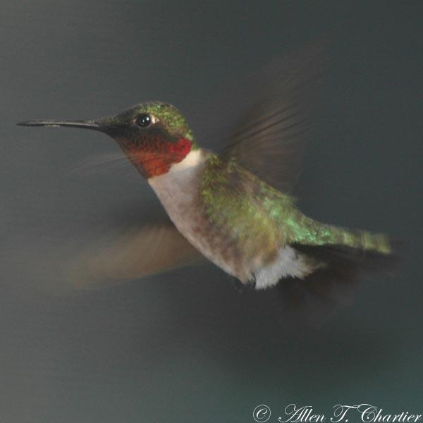 A male Ruby-throated hummingbird.
