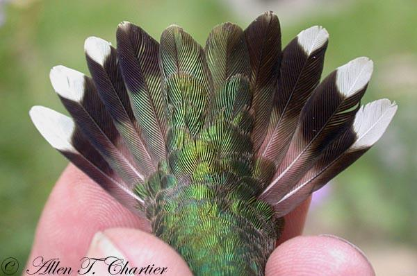The tail of a female Ruby-throated hummingbird